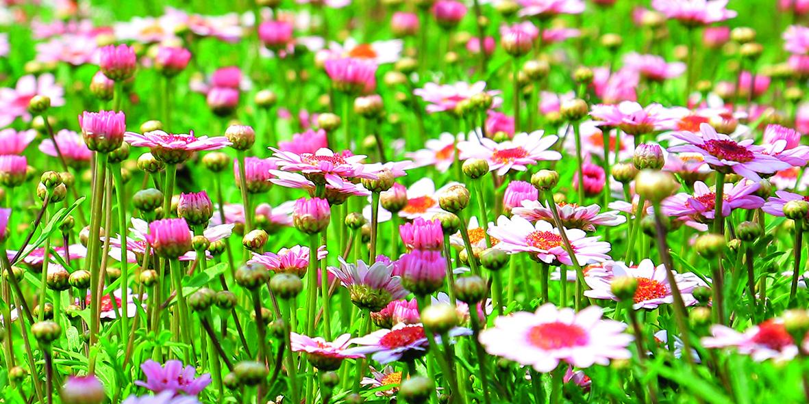 Canvas 0237 50×100 daisy