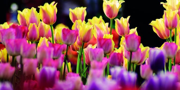 Canvas 0238 50×100 tulips