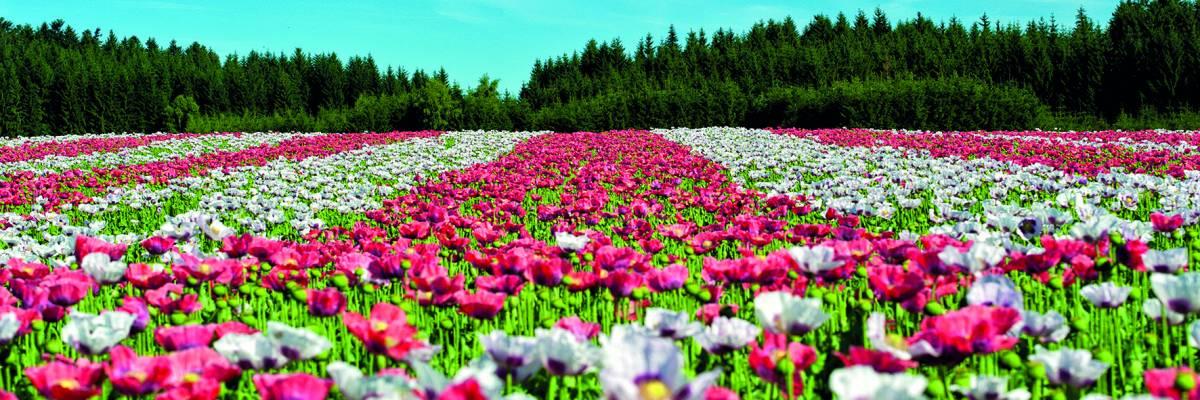 Canvas 0261 50×150 flower field