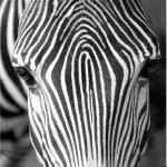 Set 3 canvas 25×25 zebras
